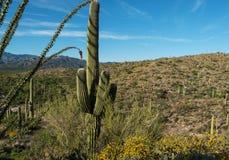 Национальный парк Saguaro, Tuscon, Аризона стоковые изображения