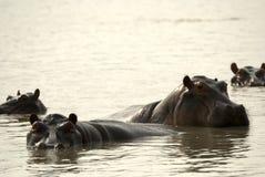 национальный парк selous Танзания гиппопотамов Стоковые Изображения