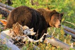 национальный парк yellowstone гризли медведя Стоковые Изображения