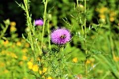 Национальный цветок Шотландии Стоковые Изображения