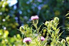 Национальный цветок Шотландии Стоковые Изображения RF
