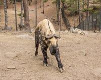 Национальное животное Бутана стоковое фото