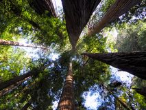 Национальный лес Redwood смотрит вверх Стоковые Изображения RF