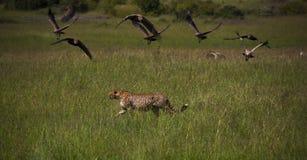 Национальный заповедник Mara Masai в Кении Стоковые Изображения RF