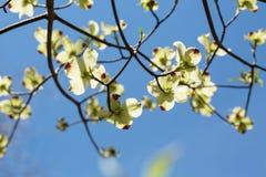 Национальный парк горы цветенй дерева кизила весной закоптелый Стоковое фото RF