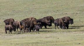 Национальный парк гранд-каньона бизона Стоковые Изображения