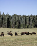 Национальный парк гранд-каньона бизона Стоковое Изображение