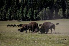 Национальный парк гранд-каньона бизона Стоковое фото RF