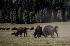 Национальный парк гранд-каньона бизона Стоковые Изображения RF