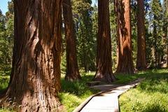 Национальный парк секвойи с старыми огромными деревьями секвойи любит redwoods Стоковое Изображение