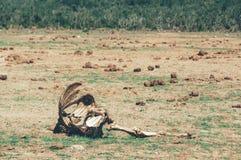 Национальный парк слона Addo, восточная накидка, Южная Африка Стоковое Фото