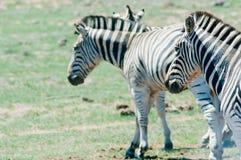 Национальный парк слона Addo, восточная накидка, Южная Африка Стоковая Фотография