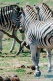 Национальный парк слона Addo, восточная накидка, Южная Африка Стоковые Фото