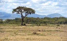 Национальный парк Amboseli стоковое фото rf