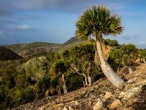 Национальный парк Christoffel - пальмы Стоковые Фотографии RF