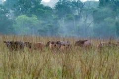 Национальный парк Conkouati-Douli буйвола леса, Конго Стоковые Фотографии RF