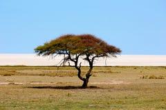 Национальный парк etosha дерева акации Стоковое Изображение RF