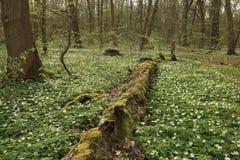 Национальный парк Hainich, Германия Стоковые Фото