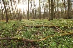 Национальный парк Hainich, охрана лесов бука, Германия Стоковая Фотография