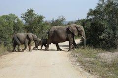 Национальный парк Kruger африканского слона стоковые фото