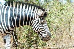 Национальный парк Kruger зебры, Южная Африка Стоковое Фото