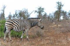 Национальный парк Kruger зебры, Южная Африка Стоковое Изображение