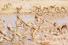Национальный парк Namibià «Etosha импалы стоковые фотографии rf