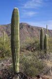Национальный парк Saguaro Стоковое Изображение RF