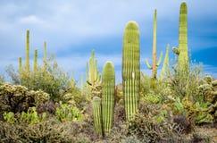 Национальный парк Saguaro Стоковые Фото