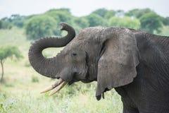 Национальный парк Tarangire, Танзания - африканский слон Стоковое Изображение RF