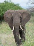 Национальный парк Tarangire, Танзания - африканский слон Стоковые Фото