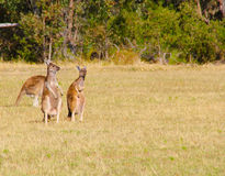 Национальный парк Yanchep Стоковые Изображения RF