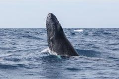 Начало горбатого кита, который нужно пробить брешь Стоковые Изображения RF