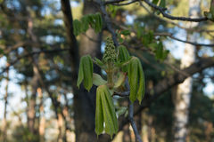 Начало цветя каштанов мешок начал chukotka начала приходит день вниз хитрит друг имеет заинтересовать положено моему солнцу весны Стоковые Изображения RF