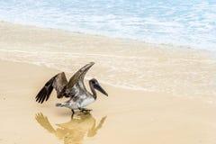 Начинать пеликана Стоковая Фотография RF