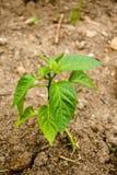 Начинать расти куст болгарского перца Стоковое фото RF