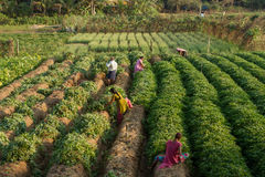 Начните сжать сладкие картофели в индийской деревне Стоковое Изображение RF