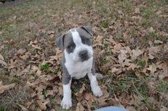 Наша новая установка kayce щенка pitbull на листьях и траве Стоковая Фотография RF