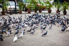 Нашествие голубей, голубей на улице стоковое изображение rf