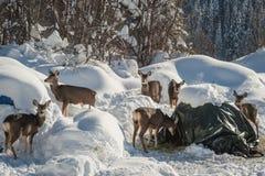 Нашествие группы оленей осла Стоковое Изображение