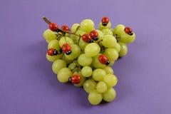 Нашествие ladybugs на связке винограда стоковое фото
