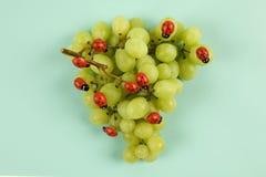 Нашествие ladybugs на связке винограда стоковое изображение rf