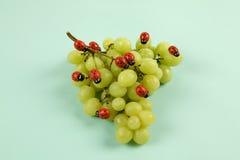Нашествие ladybugs на связке винограда стоковые фотографии rf