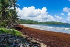 Нашествие Sargassum должное к подъему температур океана Стоковое фото RF