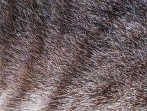 Нашивка меха серого кота Стоковое Изображение RF