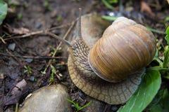Наяда gastropod улитки с спиральной оболочкой стоковые изображения