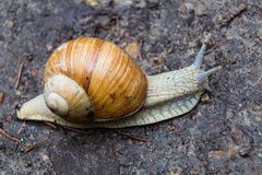 Наяда gastropod улитки с спиральной оболочкой стоковое фото rf