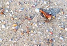 Наяда Gastropod Turritella приходя из раковины - предпосылки раковины моря стоковая фотография