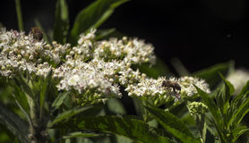 На белых цветорасположениях полевых цветков 2 пчелы Стоковое фото RF