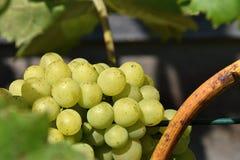 На блесках солнца вина белой виноградины Стоковые Изображения RF